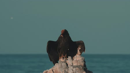 aves : Chilean Vulture Sitting On A Rock, Drying Itself