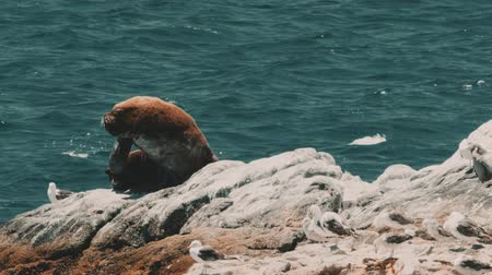ペリカン : Chilean Sea Lion Laying On A Rock At Valparaiso Harbor, Heat Haze