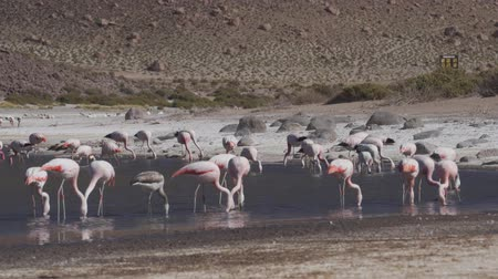 aves : Flock Of Chilean Flamingos, Heat Haze Stock Footage