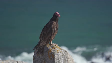 vulture : Chilean Vulture Sitting On A Rock, Drying Itself
