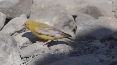 chileno : Aves Chilenas, Embalse El Yeso, Chile Archivo de Video