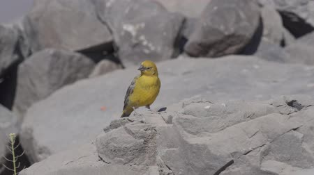 Анды : Chilean Birds, Embalse El Yeso, Chile Стоковые видеозаписи