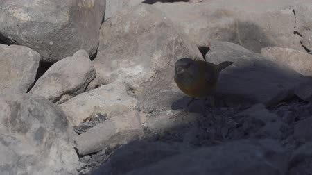 колония : Chilean Birds, Embalse El Yeso, Chile Стоковые видеозаписи