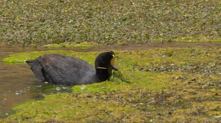 wilderness : Chilean Giant Coots