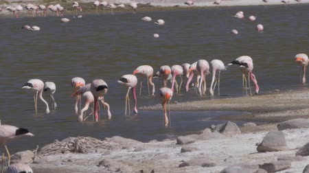 salt lagoon : Flock Of Chilean Flamingos, Heat Haze Stock Footage