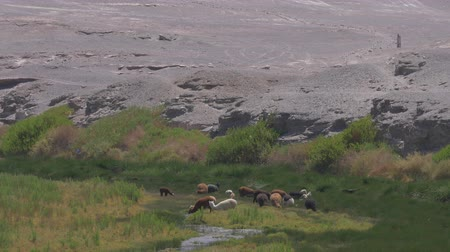 mammalia : Chilean Llama(s), Grazing Stock Footage