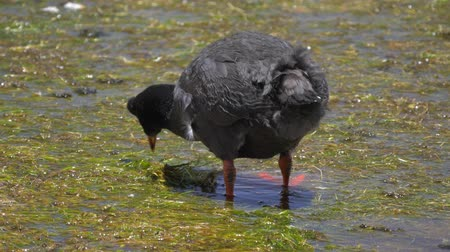 breeding season : Chilean Giant Coots