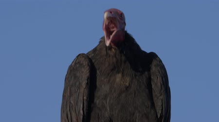 john : Chilean Vulture Sitting On A Rock, Drying Itself