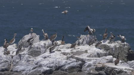 wavebreaker : Chilean Pelican(s), Sitting On A Rock At Valparaiso Harbor Stock Footage