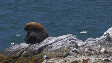 perui : Chilean Sea Lion Laying On A Rock At Valparaiso Harbor, Heat Haze