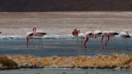 chilean flamingo : Flock Of Chilean Flamingos At A Lake