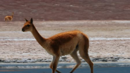 camelidae : Chilean Vicuna(s)