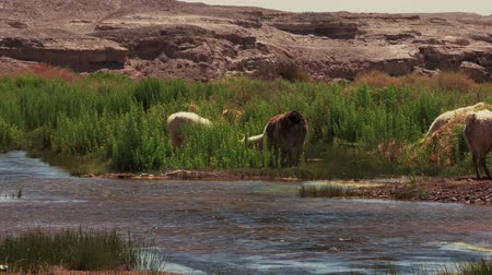 camelidae : Chilean Llama(s), Grazing Stock Footage