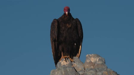 carrion : Chilean Vulture Sitting On A Rock, Drying Itself