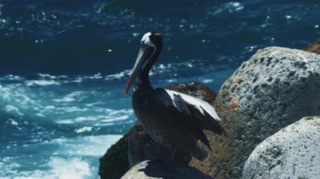 pelikan : Chilean Pelican(s), Sitting On A Rock At Valparaiso Harbor Stok Video