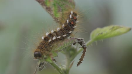 solucan : Close Up Of A Caterpillar Between Leafs Stok Video