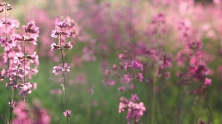 шмель : pink flowers of wild carnation in the field on a sunny afternoon, close-up Стоковые видеозаписи