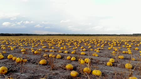 ground : Aerial view ripened pumpkins lie on ground in field, drone shot