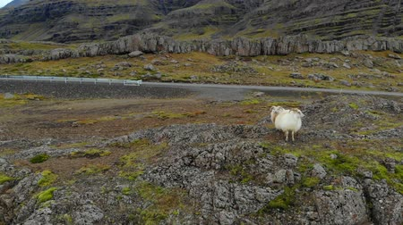 primordial : group of Icelandic sheep stands in mountains and looks at camera.