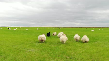 primordial : Flock of sheep runs on green grass, drone shot Stock Footage