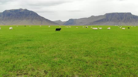 primordial : Icelandic sheep graze in green meadow on background of mountains, drone shot Stock Footage