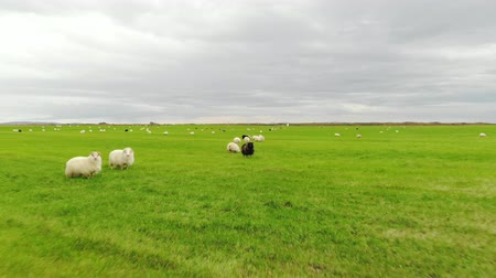 primordial : Icelandic sheep graze in a green meadow, shot of a drone