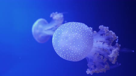 беспозвоночный : A luminous spotted jellyfish floats in blue water. Close up.