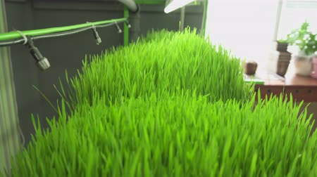 саженцы : Young sprouts of wheat in the laboratory. Steadicam shot, backward movement.
