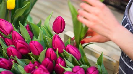 A woman puts blooming tulips in a box in a greenhouse. Close-up of hands. 動画素材