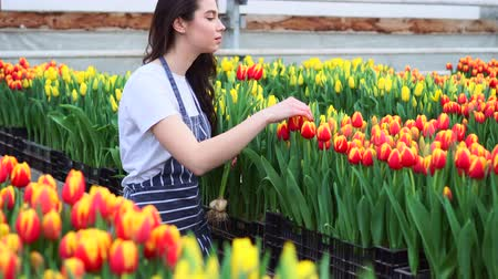 Young woman greenhouse worker collects tulips. Slider shot. 動画素材