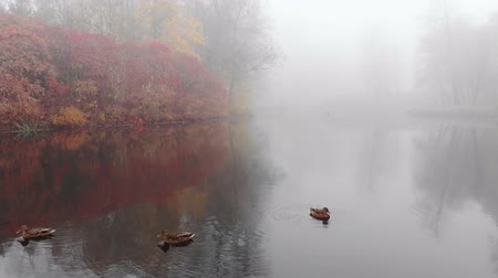 влажность : A small group of ducks swim in the lake on a foggy fall day.