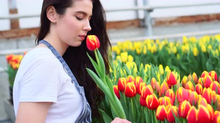 plucks : Young woman farmer plucks blooming tulips in a greenhouse. Close up.