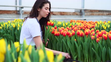 plucks : Young woman farmer plucks blooming tulips in a greenhouse.