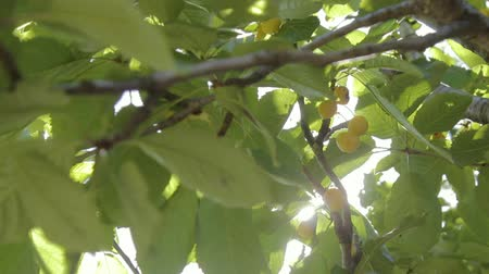 větev : Sweet cherry on the tree. Half of the spoiled berries are among the good ones. Dostupné videozáznamy