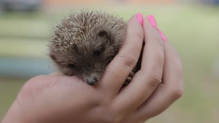 еж : A small frightened hedgehog on womens palms. The girl is holding a cowardly prickly mammal
