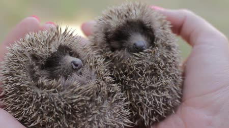 diken : Two small hedgehogs on womens palms. The girl is holding a cowardly prickly mammals