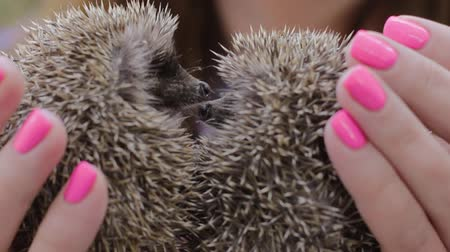 еж : Two small hedgehogs touching noses on womens palms. The girl is holding a cowardly prickly mammals