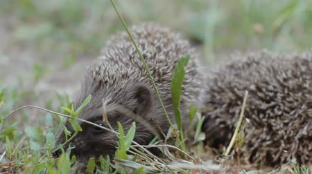 pichlavý : A tiny hedgehog on a sunny meadow is looking for something while the other is asleep. Two prickly mammals in nature