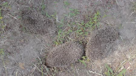 еж : Top view of three tiny hedgehogs on a sunny meadow. Little prickly mammals on nature Стоковые видеозаписи