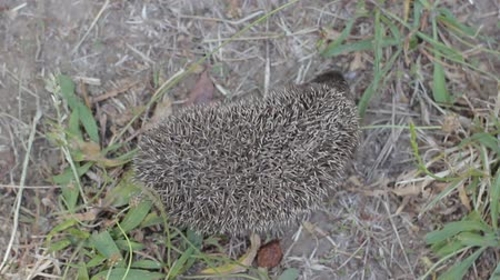 еж : Top view of tiny hedgehog on a sunny meadow is looking for something. Little prickly mammal in nature