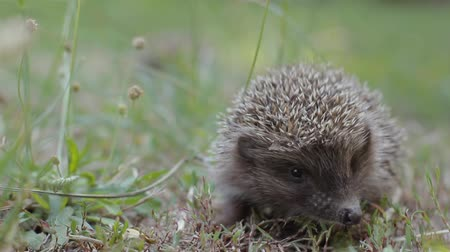 spiky : Tiny hedgehog on the clearing creeps uncertainly. Cute prickly pet is looking for something
