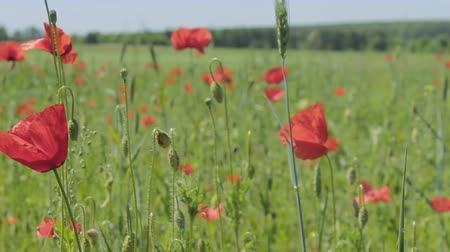 materiaŁ : Beautiful red flowers with the content of narcotic substances. Poppy field far out of town Wideo