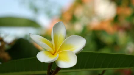 perfumy : Close up view of frangipani plumeria flower. Green leaves and white and yellow flowers.