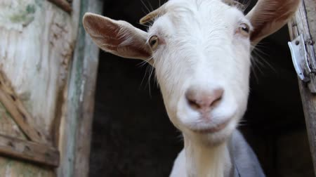 into focus : Large white goat in farm Stock Footage