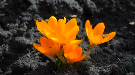 otsu : Yellow spring crocus plant. Beautiful Sternbergia lutea daffodil shallow