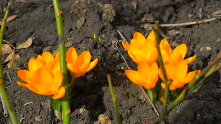 çiğdem : Yellow spring crocus plant. Beautiful Sternbergia lutea daffodil shallow