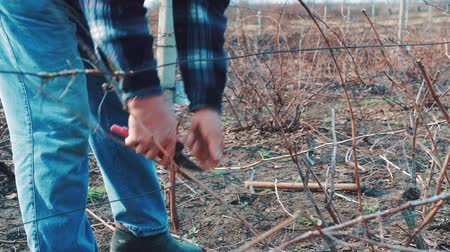 viticultura : Farmer Pruning grapes in early spring season