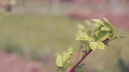 pichlavý : The young stem of raspberries. The spring leaves. Dostupné videozáznamy