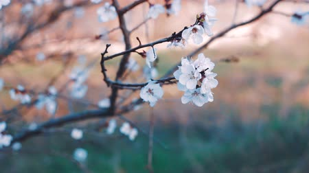 morele : Apricot tree blooms. Flowering Apricot Tree. Wideo