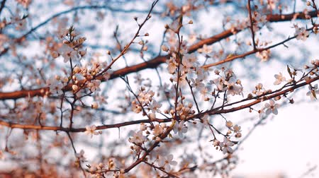 beporzás : Blooming flowers in the garden. Blooming plum tree